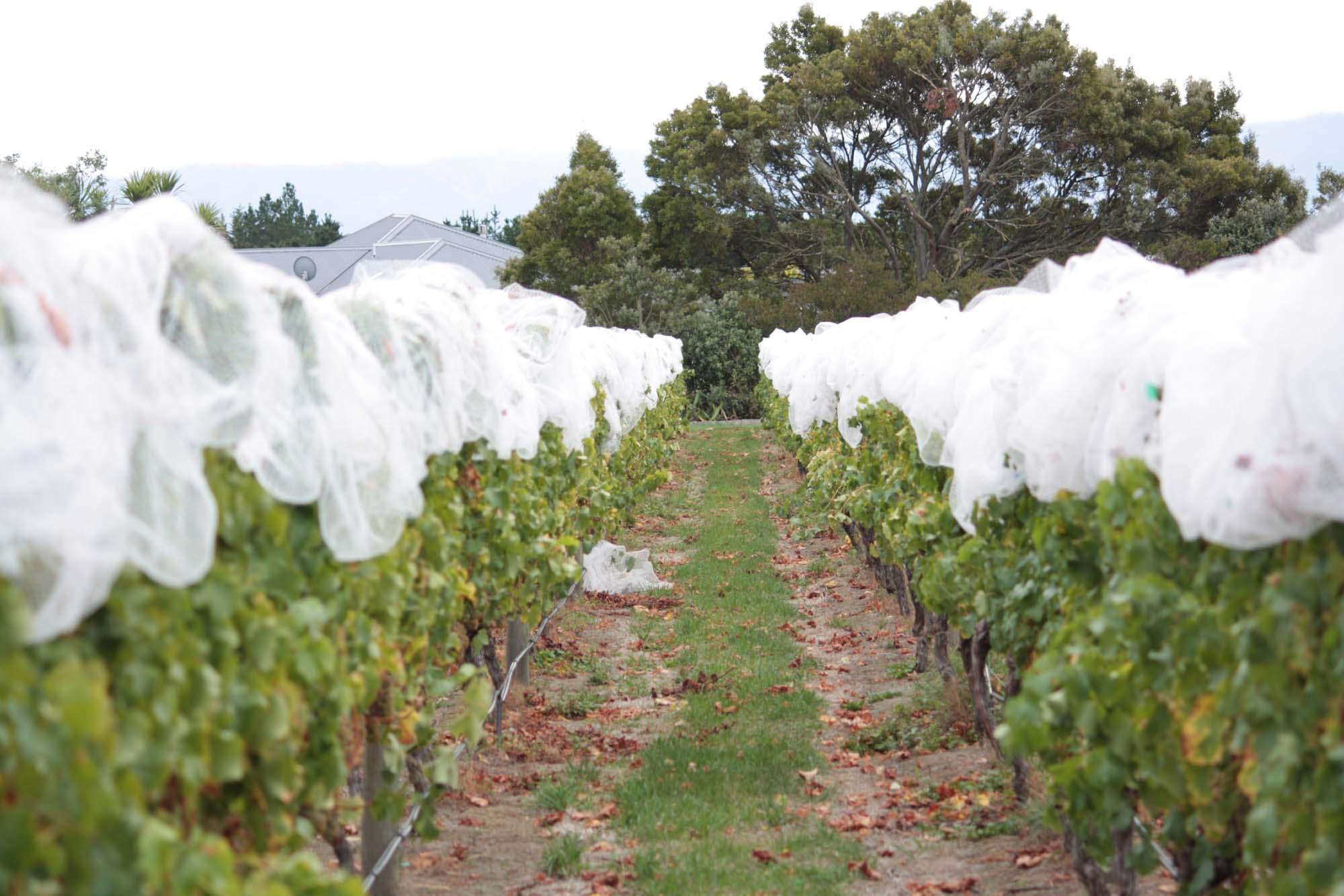 Sauvignon Blanc Grapes at 26 Rows Vineyard in Martinborough, Wairarapa