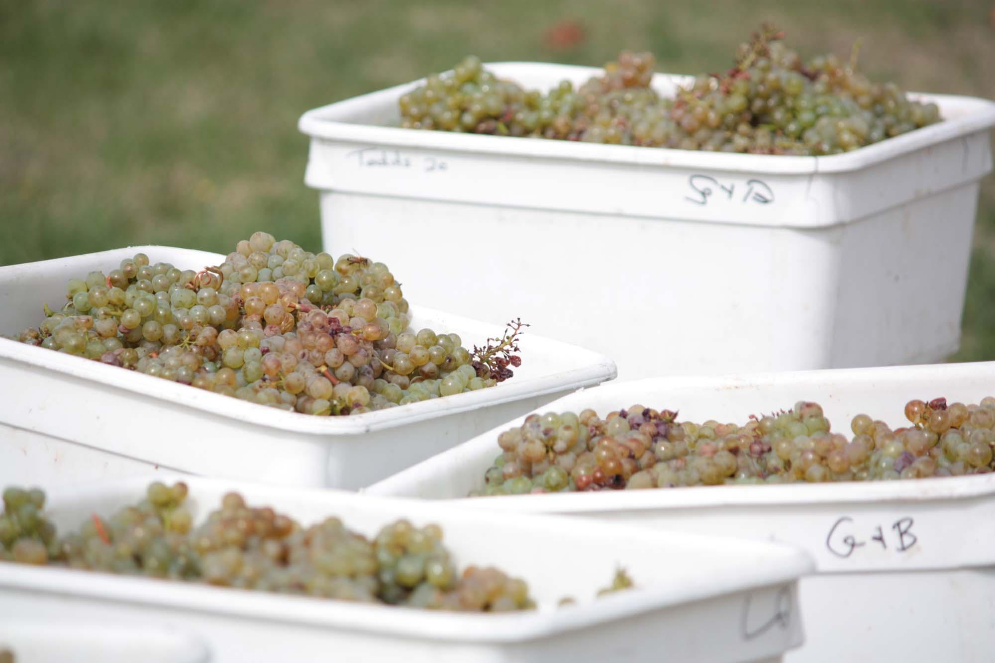 Bins of Sauvignon Blanc Grapes at 26 Rows Vineyard in Martinborough, Wairarapa