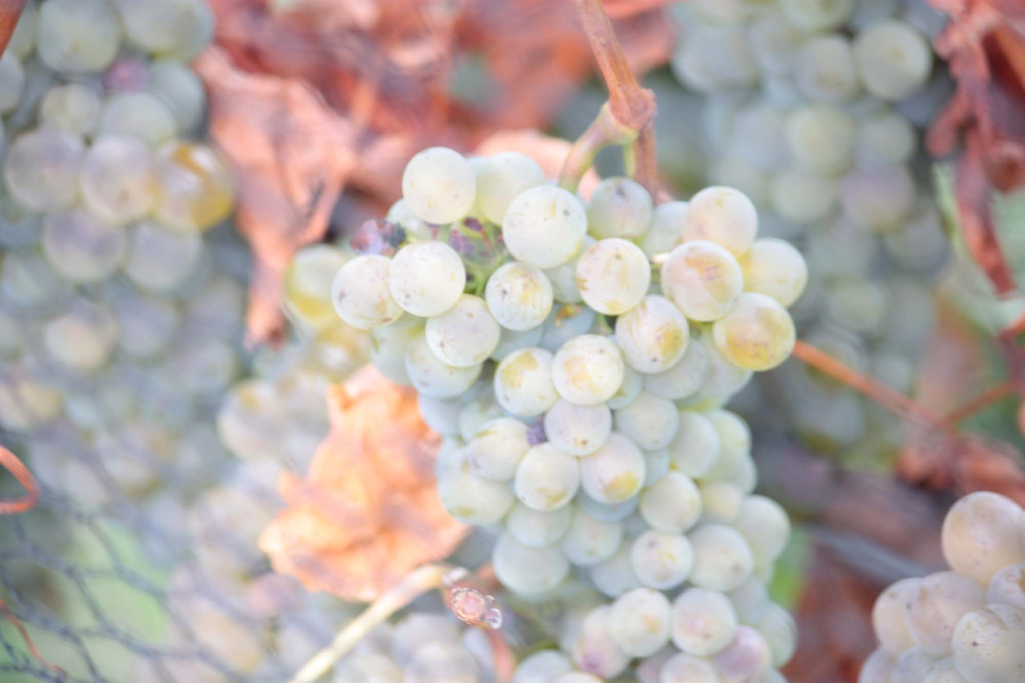 Sauvignon Blanc Grapes ready for picking and making into wine, Martinborough, 26 Rows