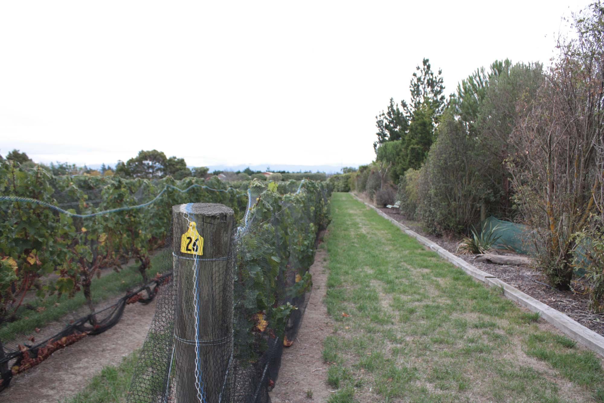 Image of Row 26 of Sauvignon Blanc Vines, Martinborough, 26 Rows